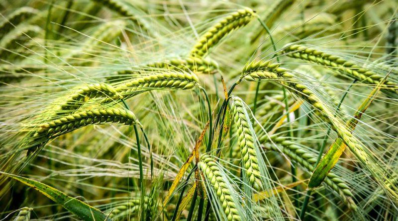 grain-farming