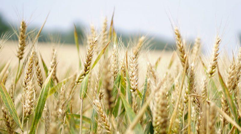Organic Grain Farming Market