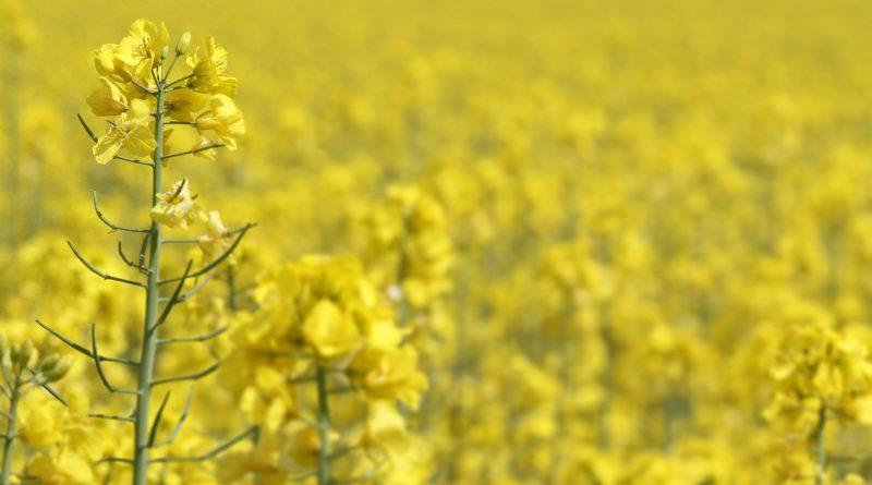 Organic Oilseed Farming Market